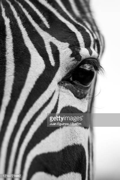 close-up of a zebra - animals in the wild stock pictures, royalty-free photos & images