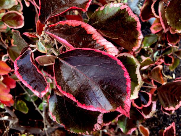 Close-up of Acalypha wilkesiana leaf at Pozo de la Salud, El Hierro, Canary Islands