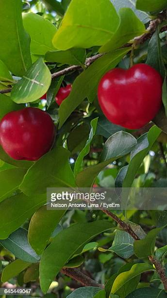 Close-Up Of Acerola Growing On Tree