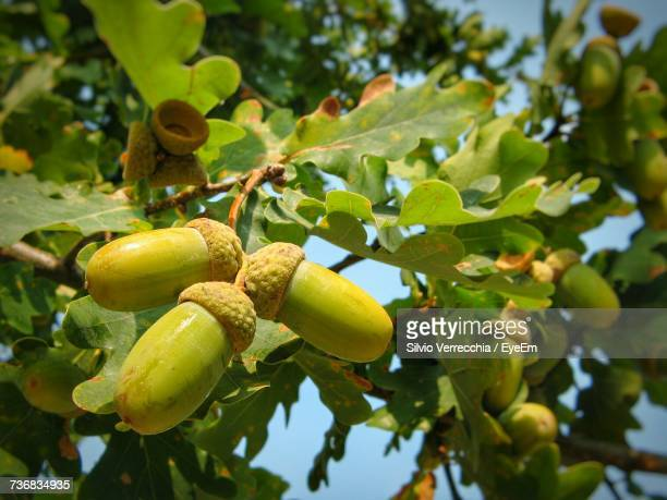 Close-Up Of Acorns Growing On Tree