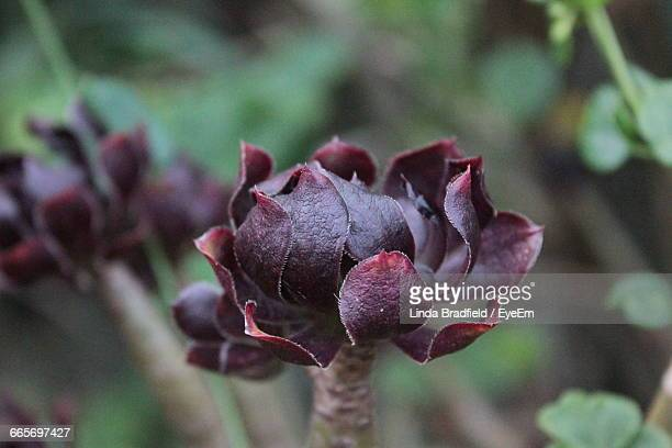 Close-Up Of Aeonium Arboreum