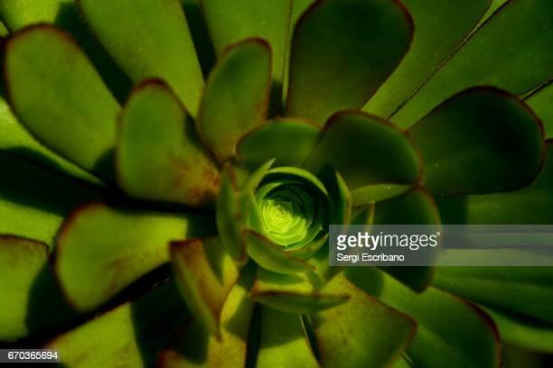 Close-up of Aeonium arboreum(Air plant, Evergreen Tree).