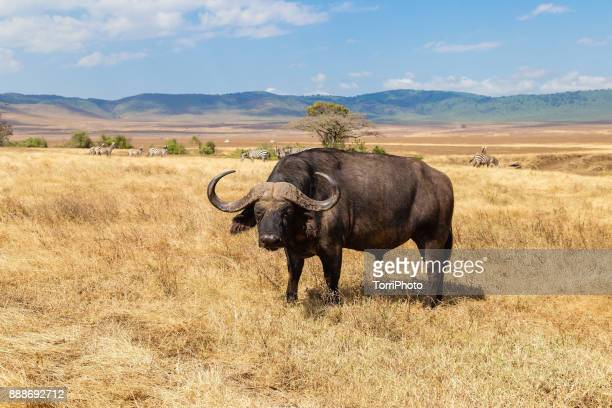 Closeup of African buffalo or Cape buffalo (Syncerus caffer) in meadow at Ngorongoro Conservation Area