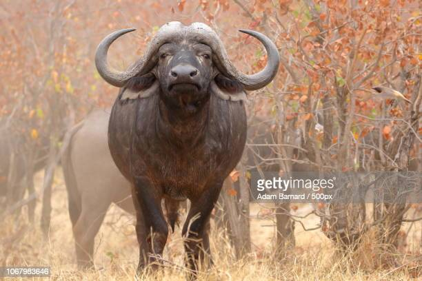 Close-up of african buffalos