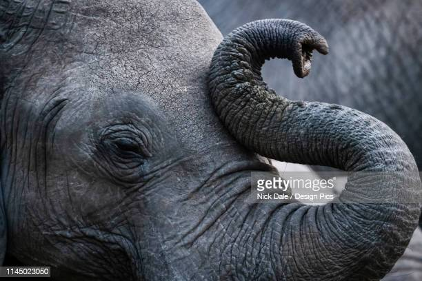 close-up of african bush elephant (loxodonta africana) curling up trunk, maasai mara national reserve - lichaamsdeel van dieren stockfoto's en -beelden