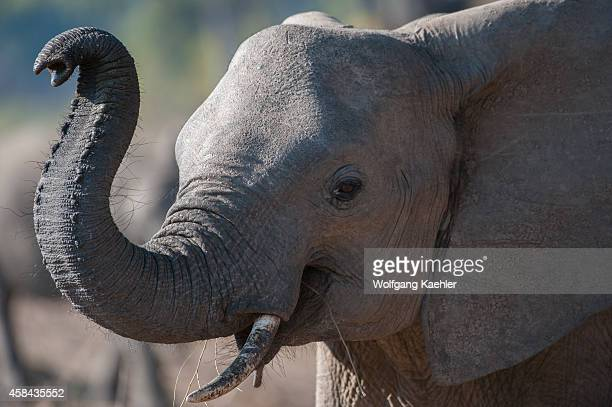 Closeup of African elephant smelling with trunk in South Luangwa National Park in eastern Zambia