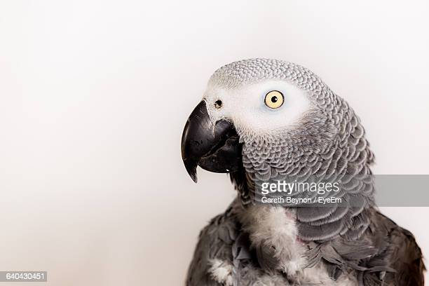 Close-Up Of African Grey Parrot Against White Background