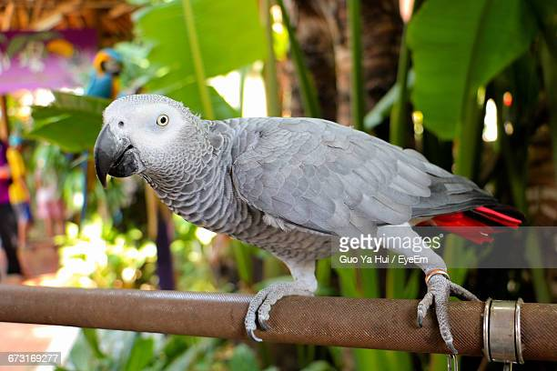 Close-Up Of African Grey Parrot Perching On Pipe By Plants