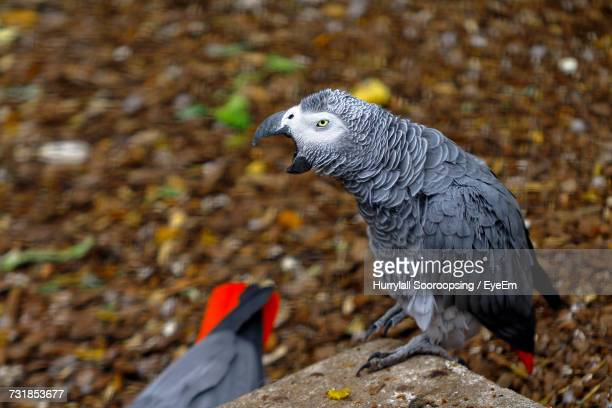 Close-Up Of African Grey Parrot Perching On Stone