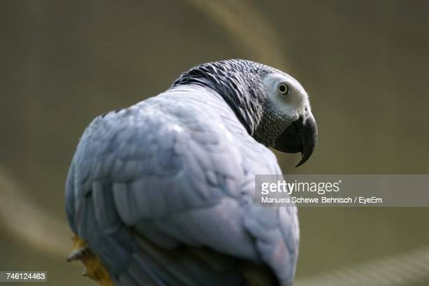 Close-Up Of African Grey Parrot