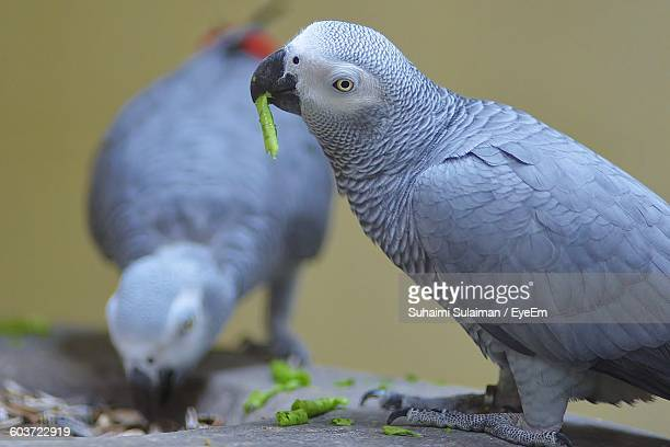 Close-Up Of African Grey Parrots Feeding On Plant