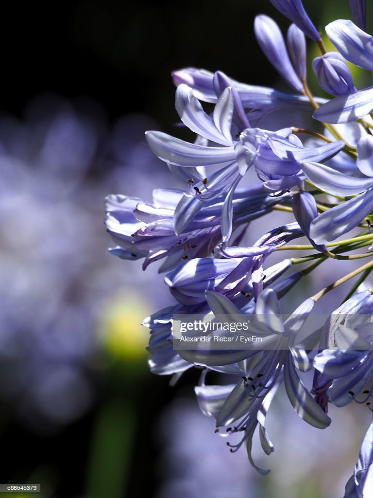 Close-Up Of African Lily Blooming At Park : Stock Photo