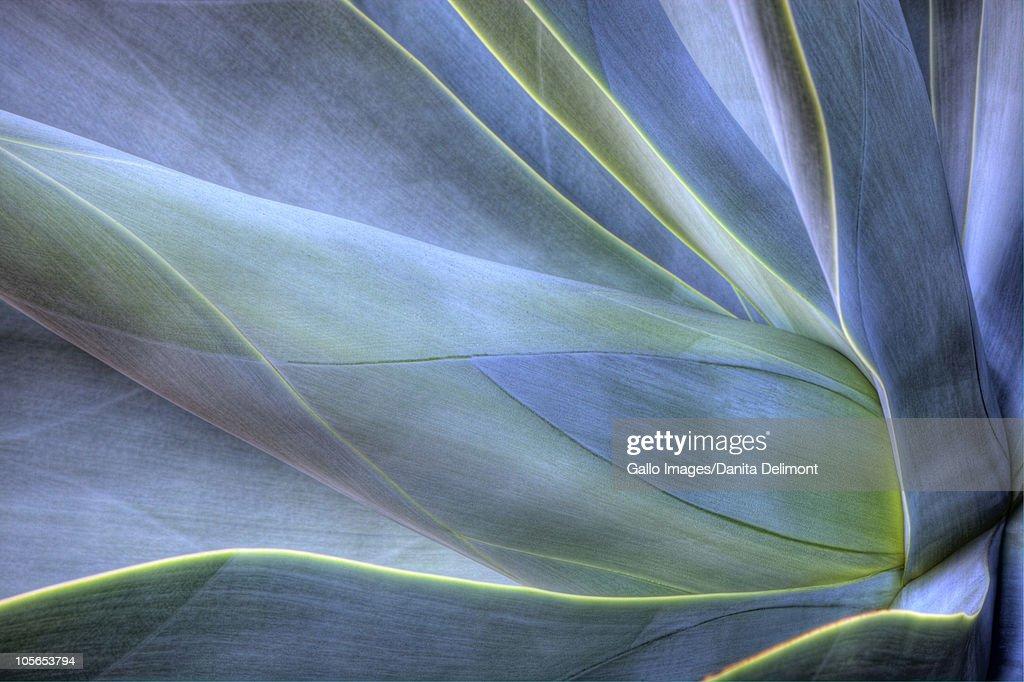Close-up di Agave, Maui, Hawaii, Stati Uniti : Foto stock