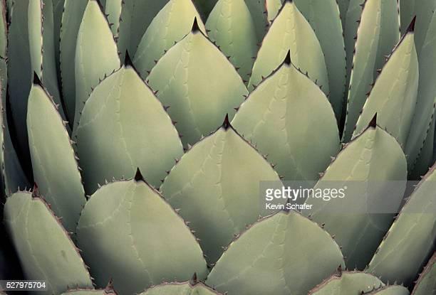 closeup of agave - agave fotografías e imágenes de stock