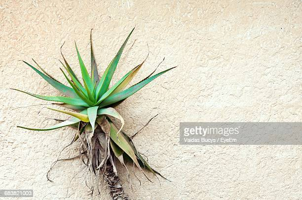 Close-Up Of Agave Plant Against Wall