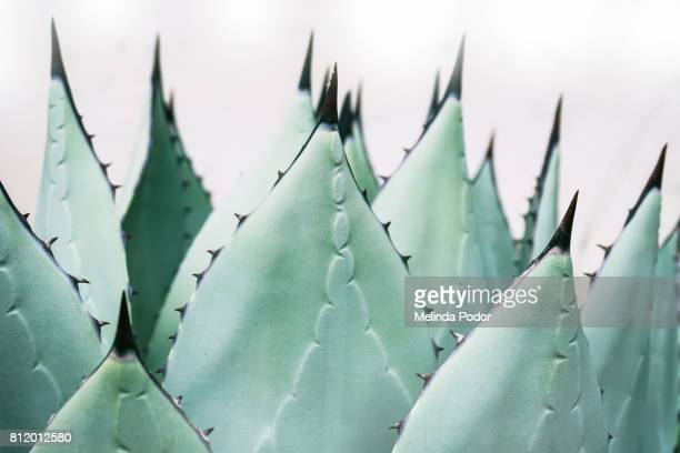 close-up of agave plant - succulent stock pictures, royalty-free photos & images