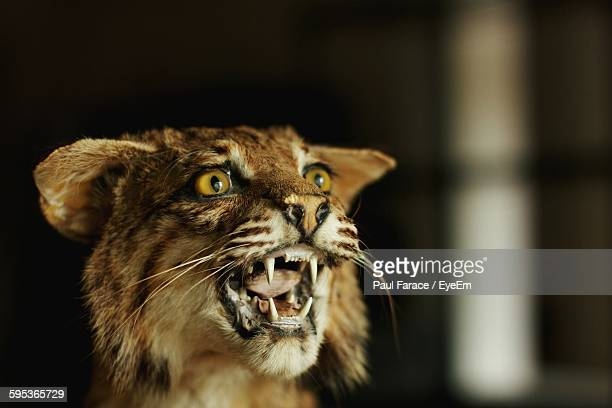 Close-Up Of Aggressive Bobcat