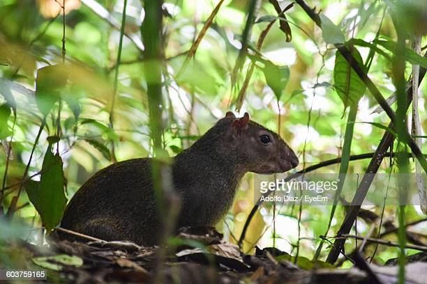 Close-Up Of Agouti Amidst Plants