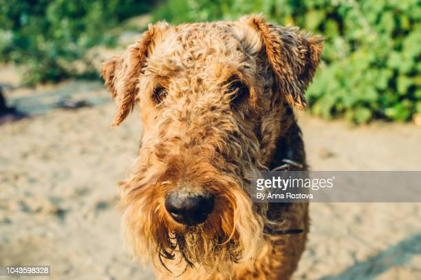 Close-up of airedale terrier dog on the beach