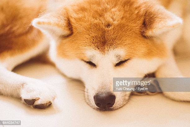 Close-Up Of Akita Resting On Floor