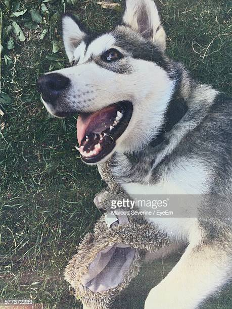 close-up of alaskan malamute barking - malamute stock pictures, royalty-free photos & images