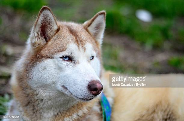 close-up of alaskan malamute looking away - malamute stock pictures, royalty-free photos & images
