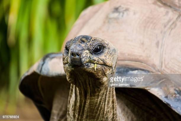 Close-up of Aldabran tortoise, Australia ZOO, Beerwah, Australia