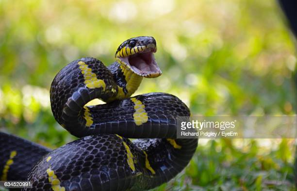 Close-Up Of Alert Snake With Mouth Open On Field