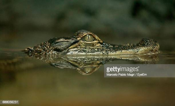 Close-Up Of Alligator In Water