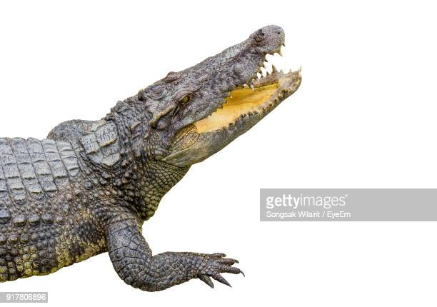 Close-Up Of Alligator Over White Background