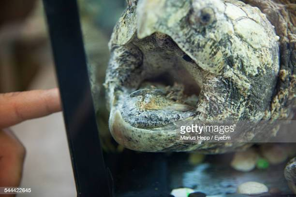 close-up of alligator snapping turtle in aquarium - snapping turtle stock pictures, royalty-free photos & images