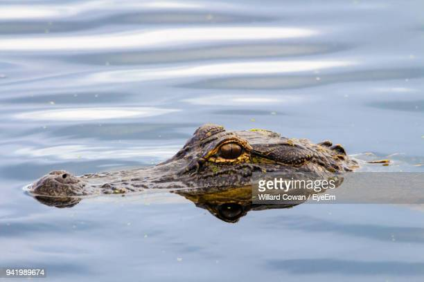 close-up of alligator swimming in sea - panama city beach stock pictures, royalty-free photos & images