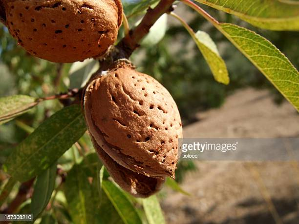 close-up of almond shell growing on a tree branch - nutshell stock photos and pictures