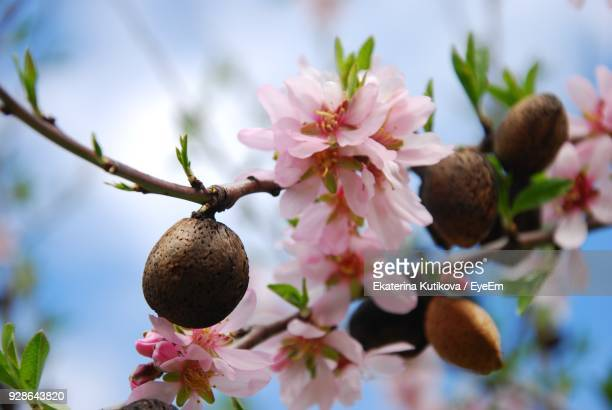 Close-Up Of Almonds With Blossoms On Tree