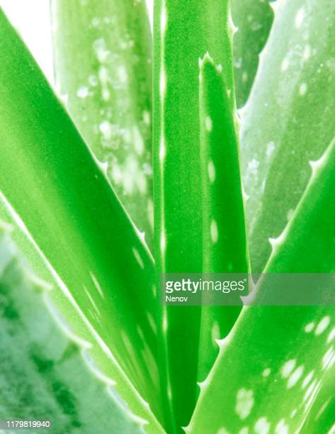 close-up of aloe vera against white background - aloe stock pictures, royalty-free photos & images