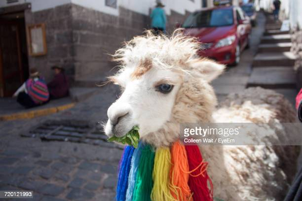 close-up of alpaca on street - lima animal stock pictures, royalty-free photos & images