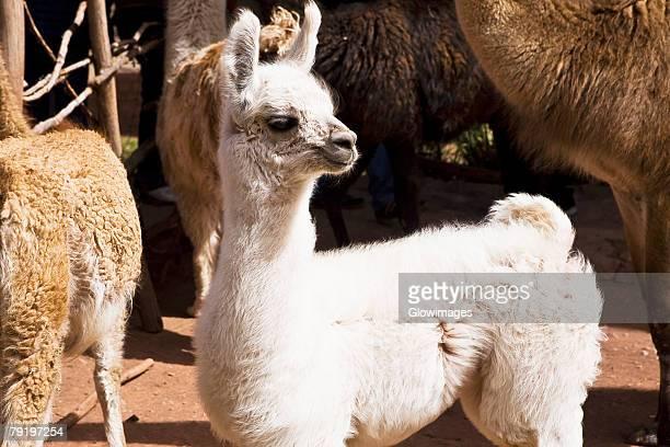 Close-up of alpacas, Aguanacancha, Peru