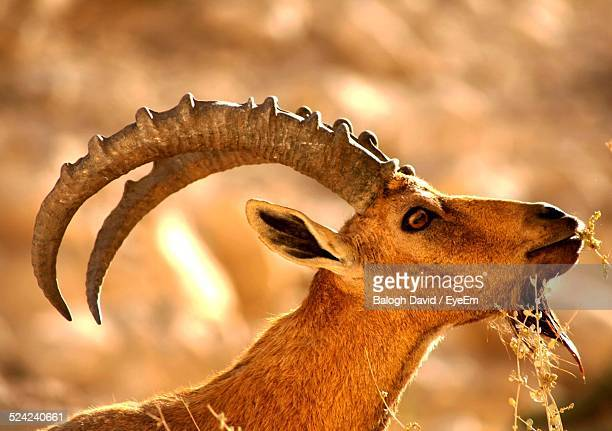 Close-Up of Alpine Ibex In Field