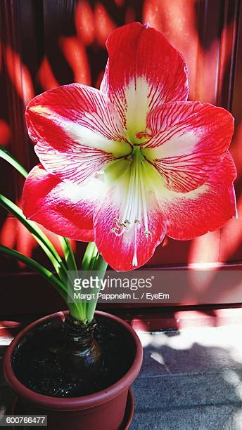 Close-Up Of Amaryllis Blooming Outdoors