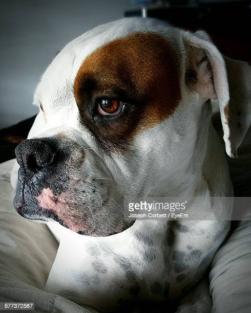 close-up of american bulldog relaxing on bed at home - american bulldog stockfoto's en -beelden