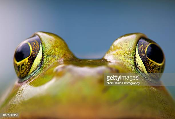 close-up of american bullfrog eyes - bullfrog stock pictures, royalty-free photos & images