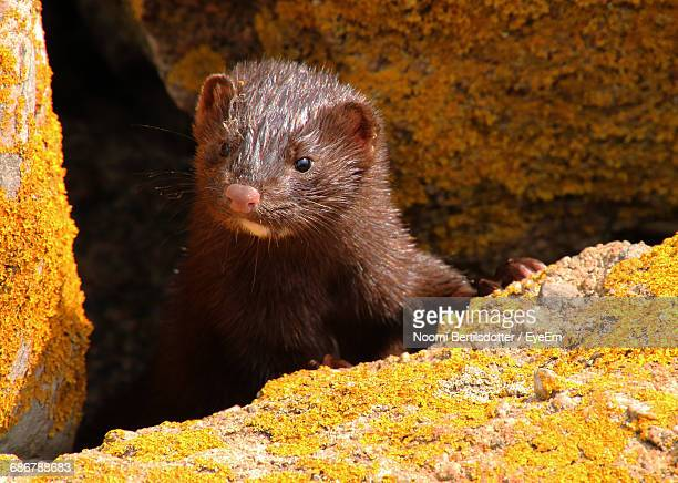 close-up of american mink in rocks - mink animal stock pictures, royalty-free photos & images