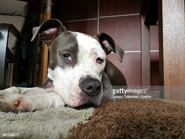close-up of american pit bull terrier relaxing on rug at home - american pit bull terrier stock pictures, royalty-free photos & images