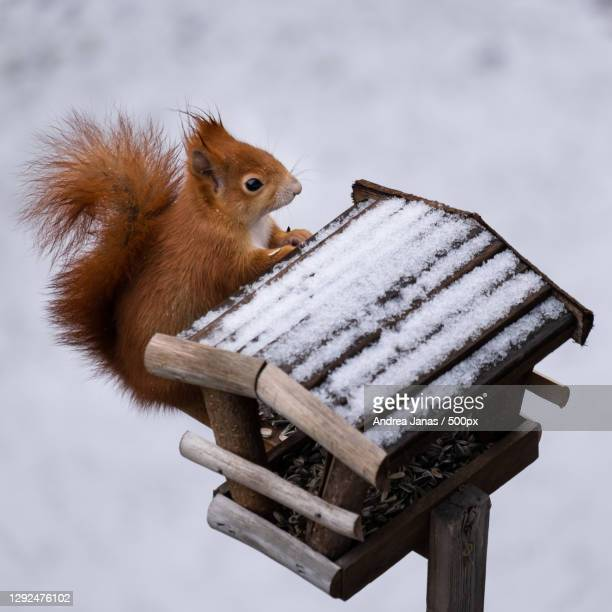 close-up of american red squirrel on snow covered field,germany - images stock pictures, royalty-free photos & images