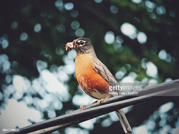 Close-Up Of American Robin Perching On Cables