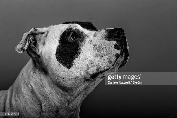 Close-Up Of American Staffordshire Terrier Against Wall