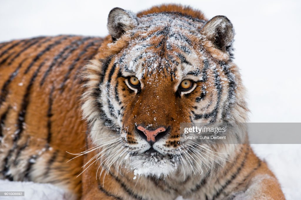 a closeup of amur tigers face stock photo getty images