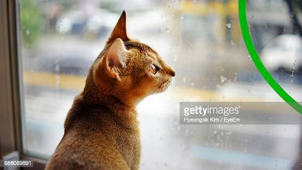 Close-Up Of An Abyssinian Cat Looking Through Window