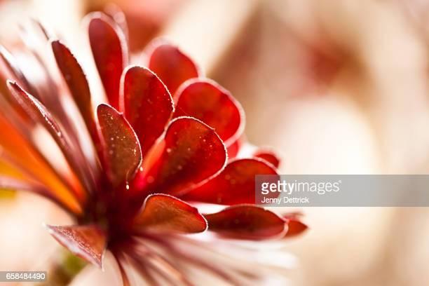 Close-up of an Aeonium arboreum