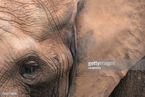 Close-up of an African elephant (Loxodonta africana)